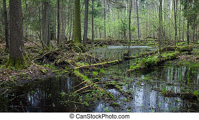 Springtime wet mixed forest with standing water and dead...