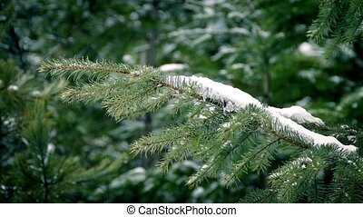 Pine Branch With Snow In Breeze