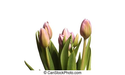 Purple Tulips Time-lapse - Time-lapse of purple...