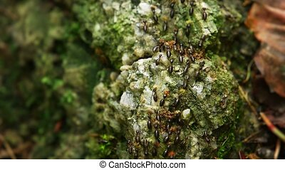 """Swarm of Hospitalitermes termites, out on a Lichen..."