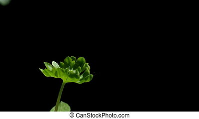 Parsley Seedling Time-lapse - Time-lapse of a parsley...