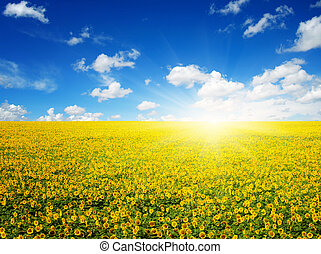 sunflowers and sun - field of sunflowers and sun in the blue...
