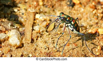 Colorful Tiger Beetle Waiting in Ambush for Prey - Tiger...