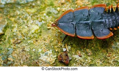 Live Female Specimen of Trilobite Beetle in Thailand -...