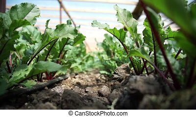 Plantation of Beet in a Greenhouse - Plantation of Beet in a...