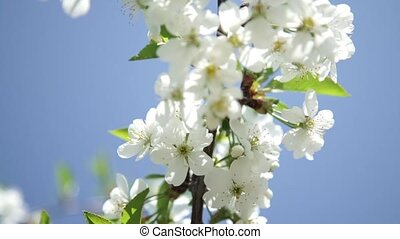White apple or cherry tree blossoms - The bee pollinates...