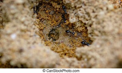 Ants Emerging from a Hole in the Wet Soil - Extreme closeup...