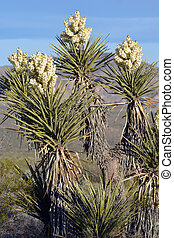 Yucca in Bloom - Yucca cactus in bloom in the desert during...