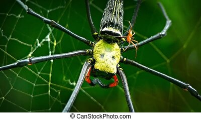 Mating Pair of Nephila Spiders in the Wild