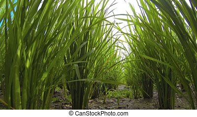 """Rough, Tracking Shot of Lowland Rice Stalks in Muddy Soil""..."