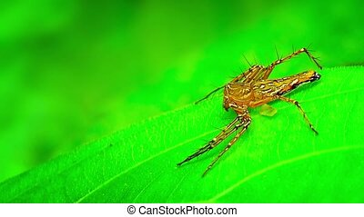 Brown Spider Darts Under a Leaf - Little brown spider dives...