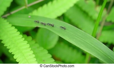 "Black Ants Scurrying along a Grass Leaf - ""Column of big,..."