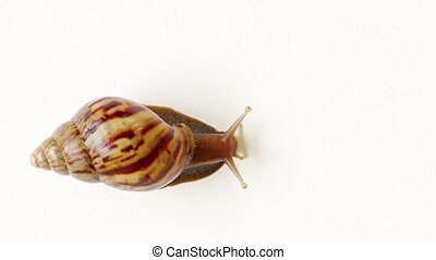 quot;Large Terrestrial Snail, Isolated against a White...