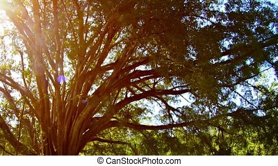 Sun Shining through Branches of Mature Ficus Tree - Big,...