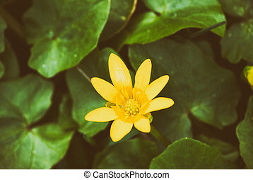 Spring yellow flowers - anemone radionuclide, the yellow...
