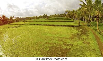 Lowland Rice Paddies in Southeast Asia - Rows of clustered...