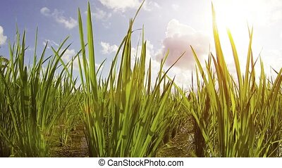 Low Angle Shot of Lowland Rice on a Farm - Low angle,...