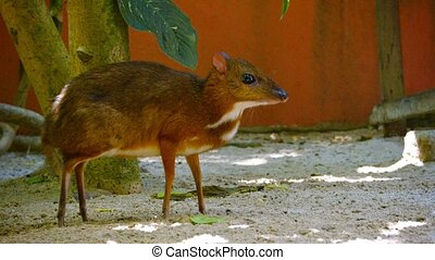 Solitary Mouse Deer Foraging for Food at a Zoo - Solitary...