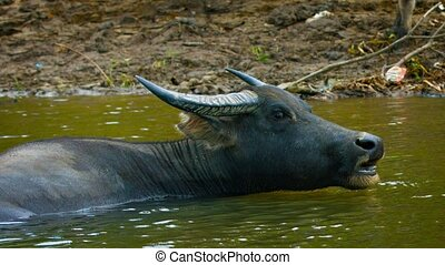 Water Buffalo Bathing in a River in Southeast Asia - Mature,...