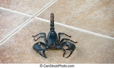 Giant Forest Scorpion on a Tile Floor - Giant forest...