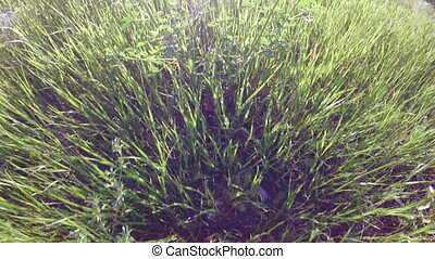 Tall grass spring nature - In backlight sun path among tall...