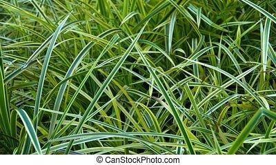 Closeup of Bicolor Blades of Grass in a Garden - Closeup...