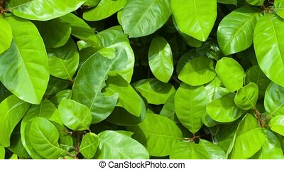 Fish Poison Tree with Leaves Swaying in the Breeze - Healthy...