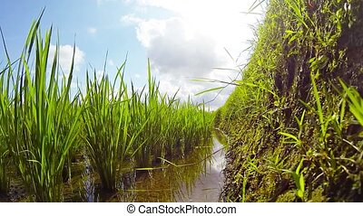Unique Perspective of a Rice Paddy from along a Wall -...