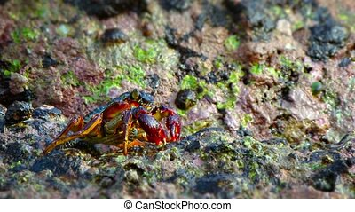 Closeup of a Tiny Crab Picking Food off the Rocks - Closeup,...