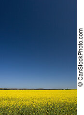 Canola fileds in the Cape, South Africa