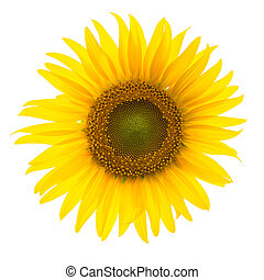 Full bloom Sunflower on white background