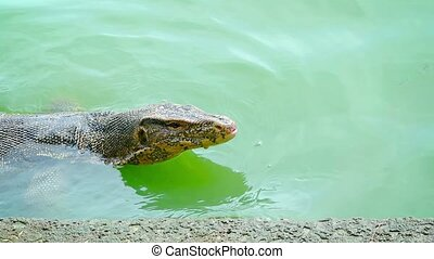 Water Monitor Lizard Swimming in a Pond at a Nature Park -...