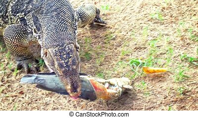 quot;Asian Water Monitor Lizard, Devouring a Large...