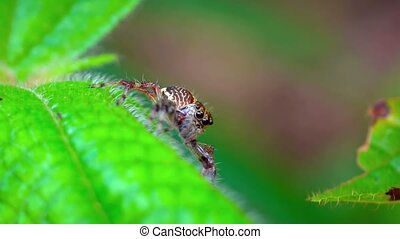Jumping Spider Waiting in Ambush on a Leaf - Ugly, brown...