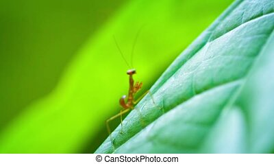 """Freshly Hatched Praying Mantis, Stretching and Drying in..."