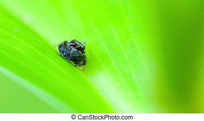 Extreme Closeup of a Tiny Jumping Spider on a Leaf. Video...