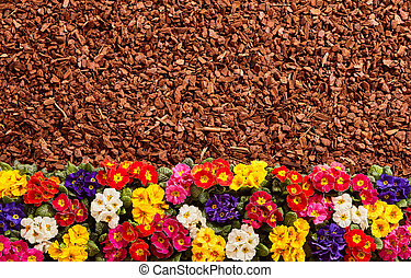 Row of primrose flowers and mulch background - Row of...