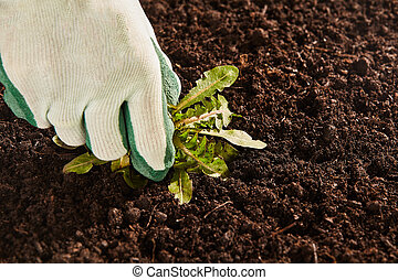 Gardener hand pulling up broad leaf weed - Close up view on...