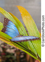 Morpho Menelaus Butterfly, Tropical Rainforest - Morpho...