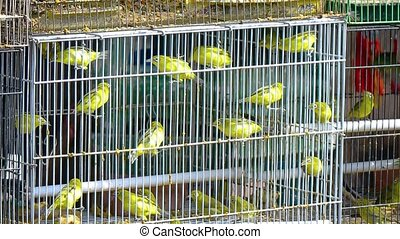 Little yellow birds in a cage Indonesia Bali island FullHD...