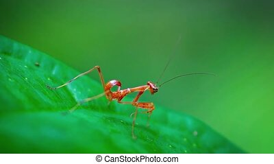 """Red, Juvenile Praying Mantis, Sitting on a Leaf. Video..."