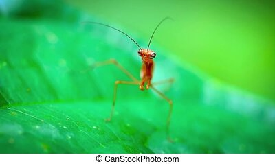 Red Praying Mantis Waiting in Ambush. Video 1920x1080 -...