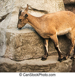 Mountain goat - Mountain she-goat