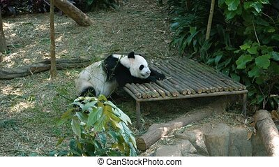 Adult Panda Napping in an Awkward Position Video 1920x1080 -...
