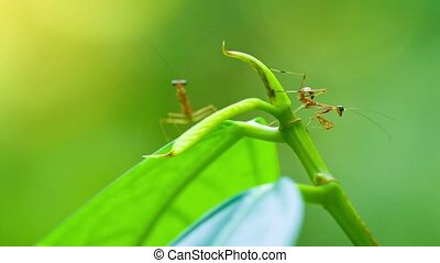 Closeup of Newly Hatched Praying Mantises on a Vine. FullHD...
