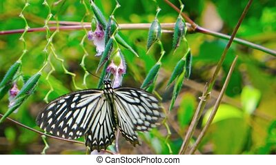 Specimen of Common Mime Butterfly Alights Brierfly on a...