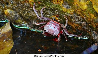 Tiny Waterfall Crab Clinging to a Mossy Rock. FullHD video -...