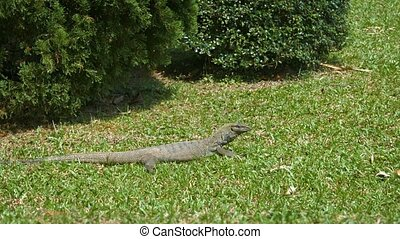 Solitary Monitor Lizard Sunning Himself in the Grass. FullHD...