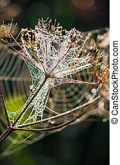 Drops of dew on a web shined by morning light - Cobweb with...