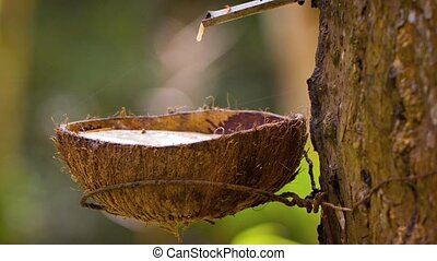 Rubber Tree Tapped to Collect Latex Sap in Southeast Asia. -...